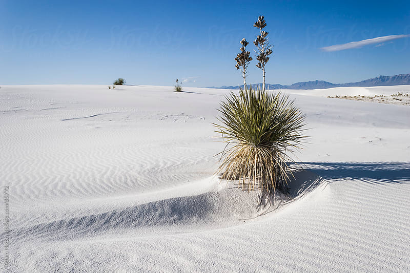 Plant growing out of the White Sands by Adam Nixon for Stocksy United