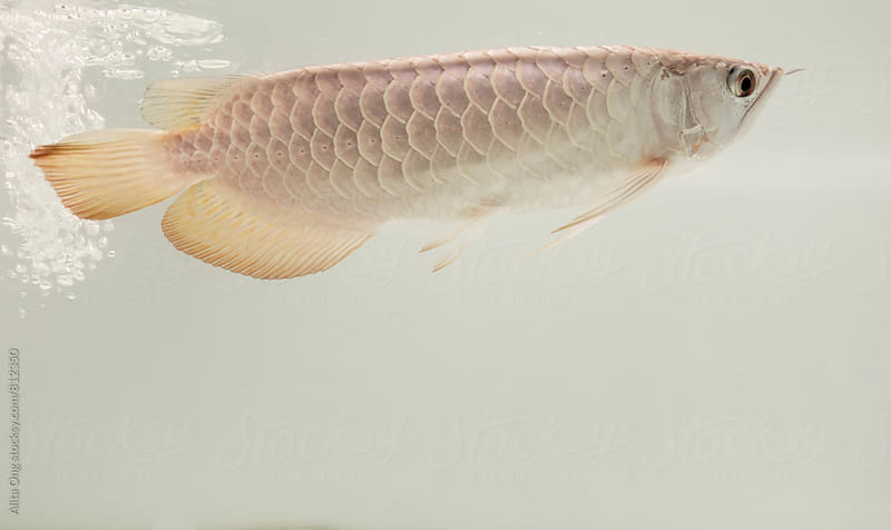 Arowana fish by Alita Ong for Stocksy United