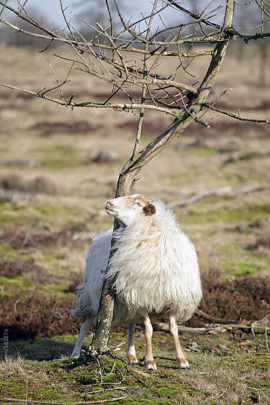 Sheep scratching its head against a young tree by Marcel for Stocksy United