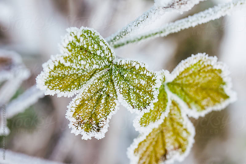 Frozen leaves. by michela ravasio for Stocksy United
