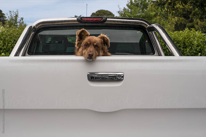 Farm Dog in the back of a truck on his way to work by Rowena Naylor for Stocksy United