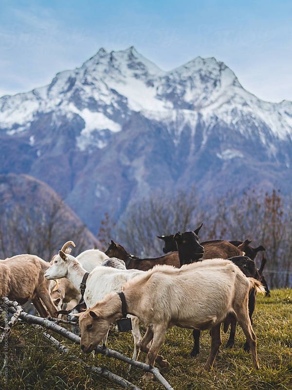 Goats in the mountains by Milena Milani for Stocksy United