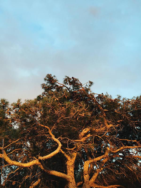 Tree in sunset light by Luca Pierro for Stocksy United