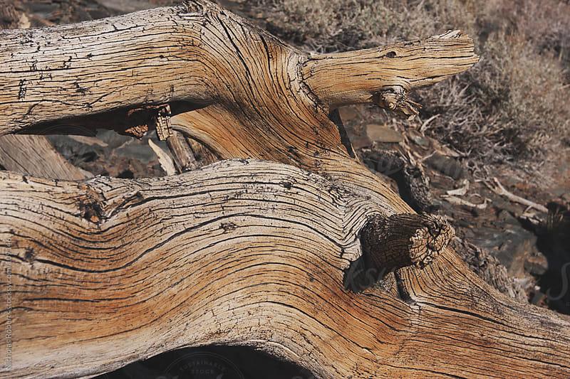 Bristlecone Pine by Nicholas Roberts for Stocksy United