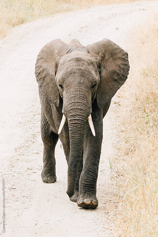 young elephant on dirt road in Tanzania by Cameron Zegers for Stocksy United
