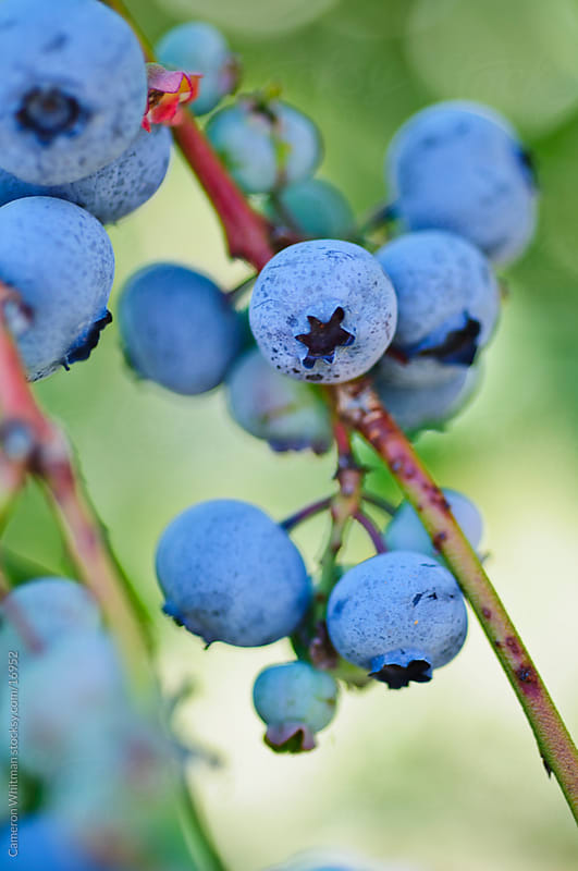 Blueberry Farm by Cameron Whitman for Stocksy United