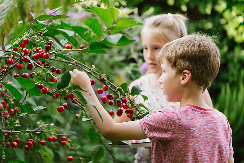 Children picking cherries from a tree in their garden at home by Kirsty Begg for Stocksy United