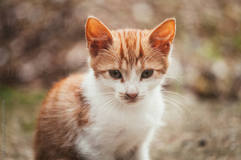 Fluffy orange kitty by Borislav Zhuykov for Stocksy United
