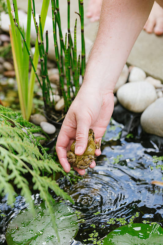 Man putting frog into garden pond by Kirsty Begg for Stocksy United