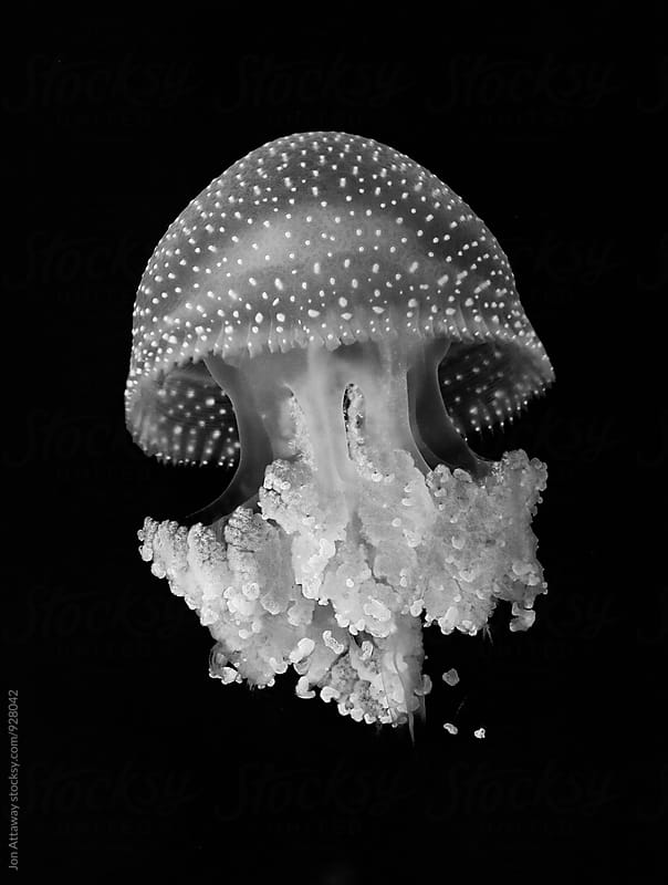 Jellyfish in black and white by Jon Attaway for Stocksy United