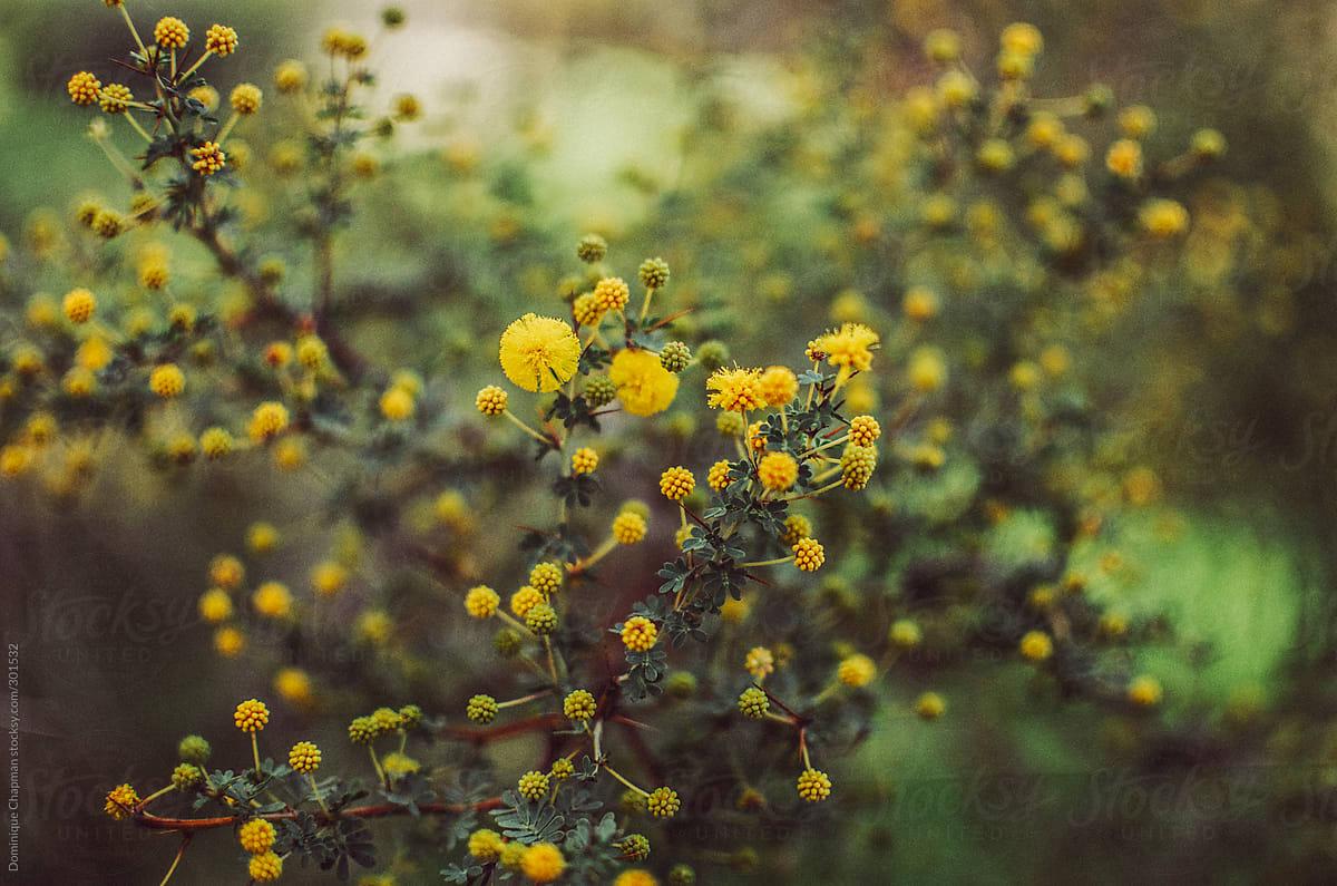 Native yellow australian flowers stocksy united native yellow australian flowers by dominique chapman for stocksy united mightylinksfo