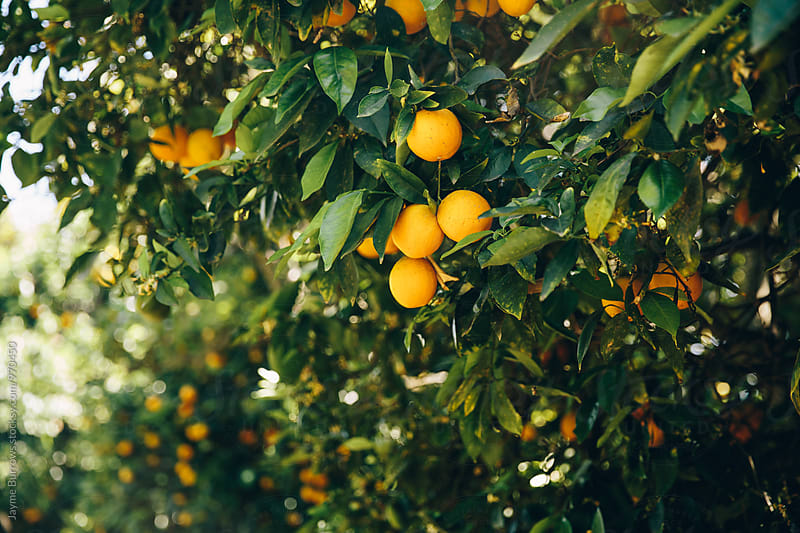 Orange Grove by Jayme Burrows for Stocksy United