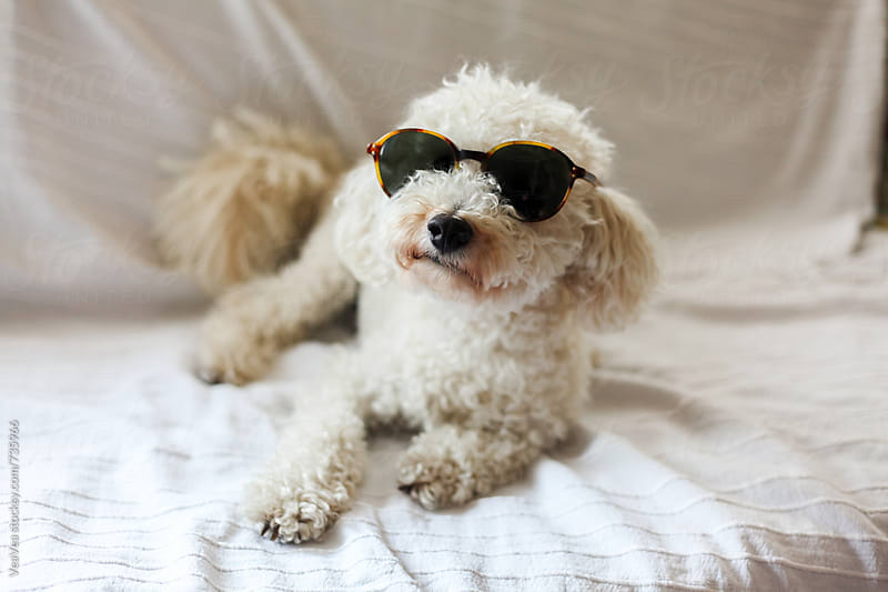 Adorable white poodle with sunglasses sitting on a couch  by VeaVea for Stocksy United