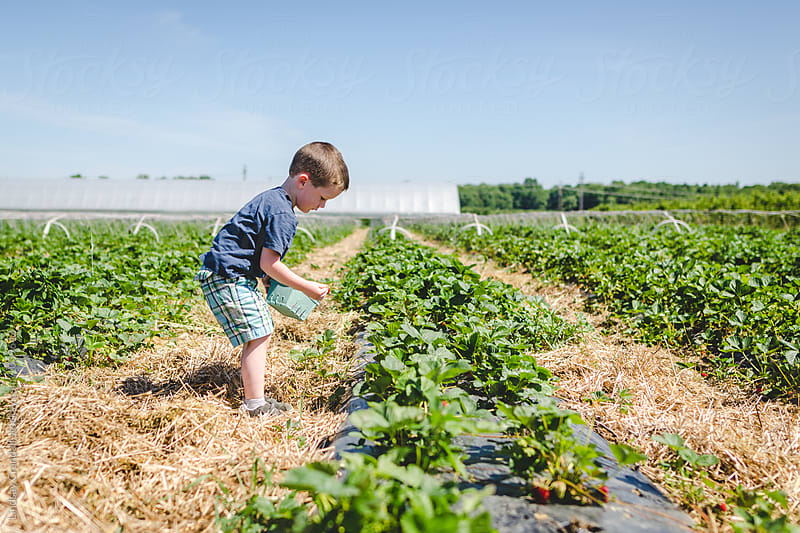 Little boy picking strawberries in a field by Lindsay Crandall for Stocksy United