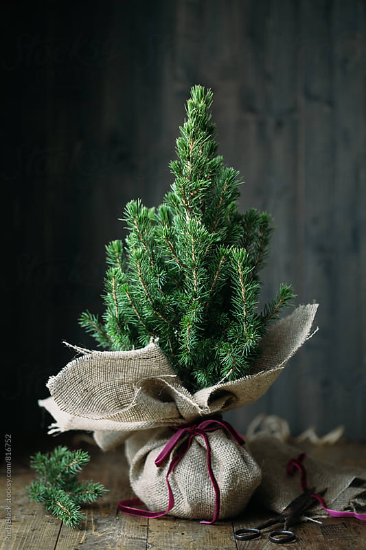 Christmas tree wrapped in burlap by Ruth Black for Stocksy United