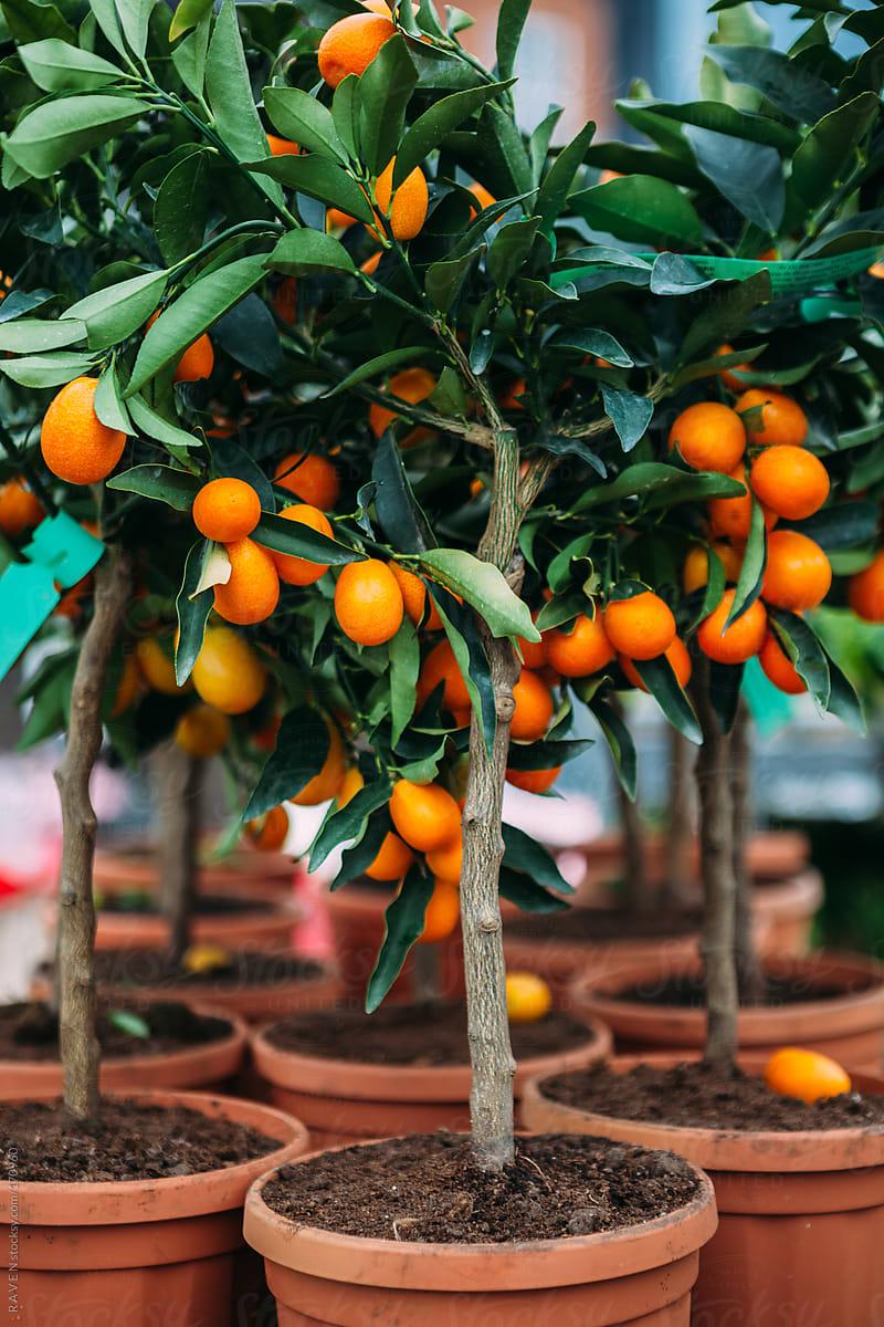 Kumquat Tree Stocksy United