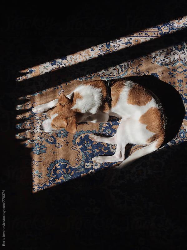 Dog sleeping on the carpet  by Boris Jovanovic for Stocksy United