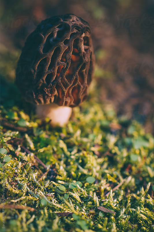 A morel mushroom grows in the moss. by Sarah Ehlen Photography for Stocksy United