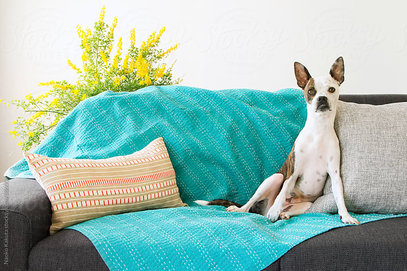dog sitting on a sofa with pillows and throw by Naoko Kakuta for Stocksy United