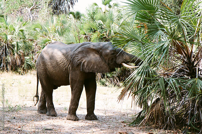 An elephant eating a palm tree in the wild. by Helen Rushbrook for Stocksy United