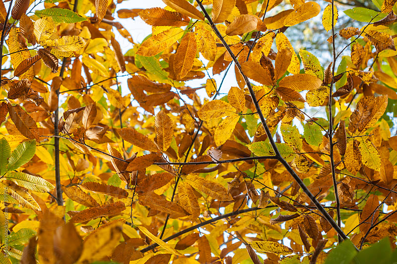 Autumn Leaves Against the Sky by Mosuno for Stocksy United