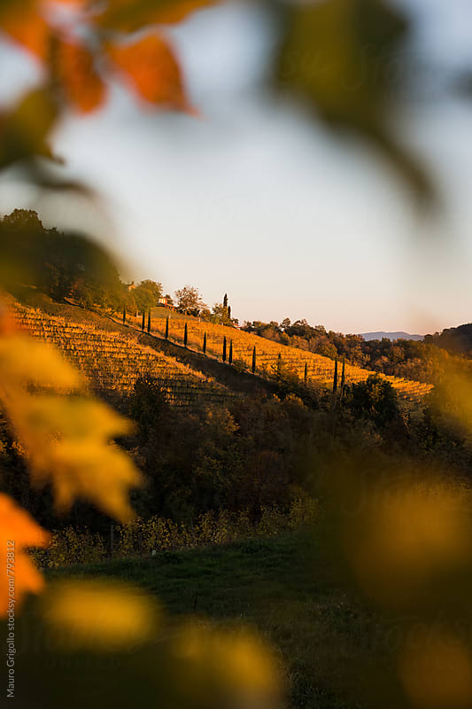 vineyards in autumn by Mauro Grigollo for Stocksy United