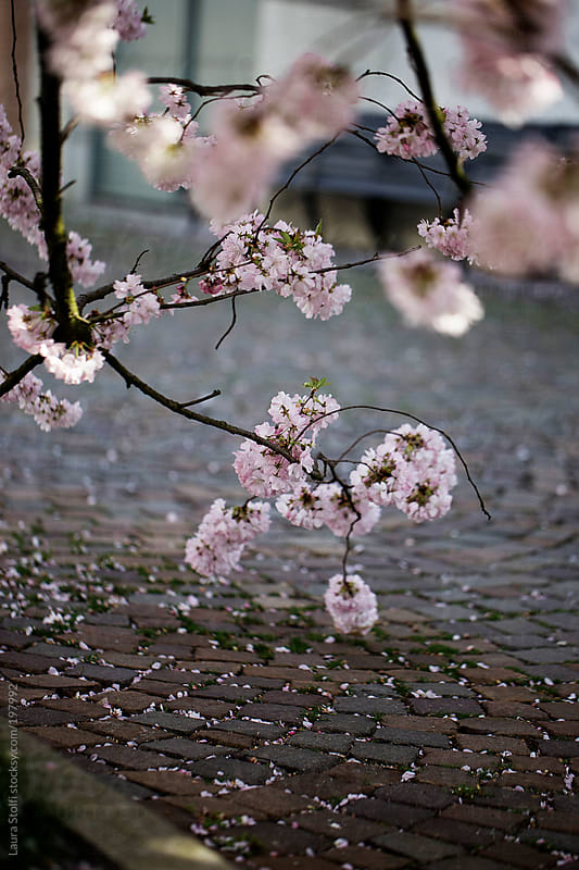 Cherry tree branches in bloom and fallen petals on ancient stone path by Laura Stolfi for Stocksy United