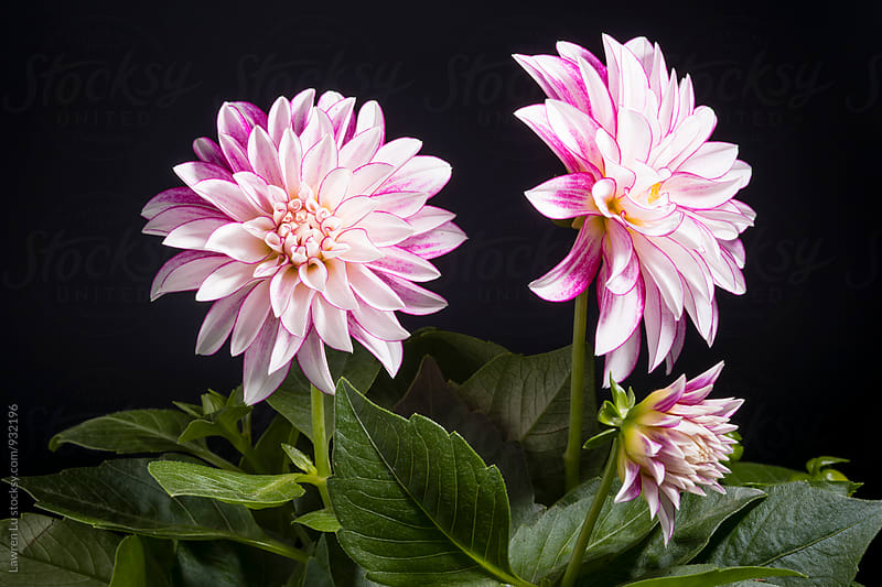 Bunch of Dahlia on black background by Lawren Lu for Stocksy United