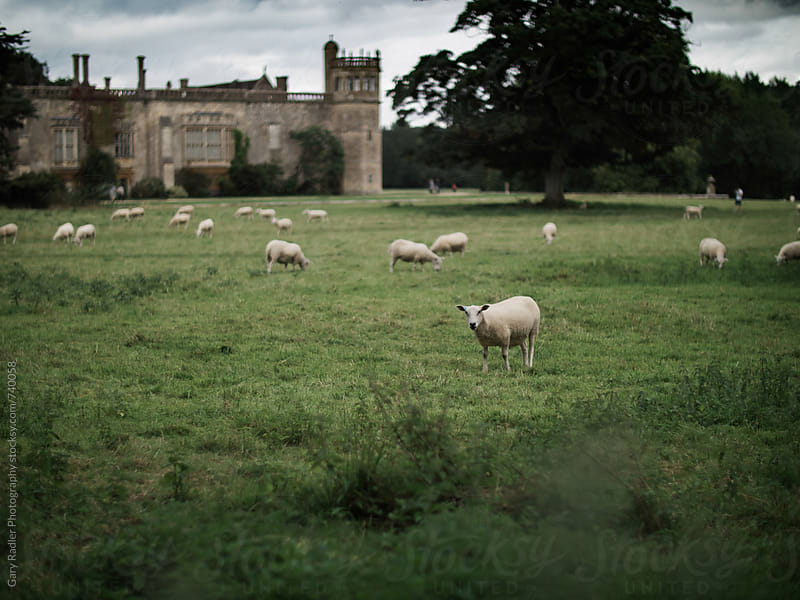 Sheep in a field in the Cotswolds, England by Gary Radler Photography for Stocksy United