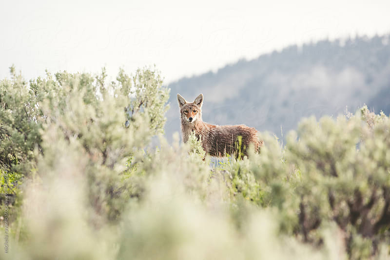 Coyote in the wilderness by michela ravasio for Stocksy United