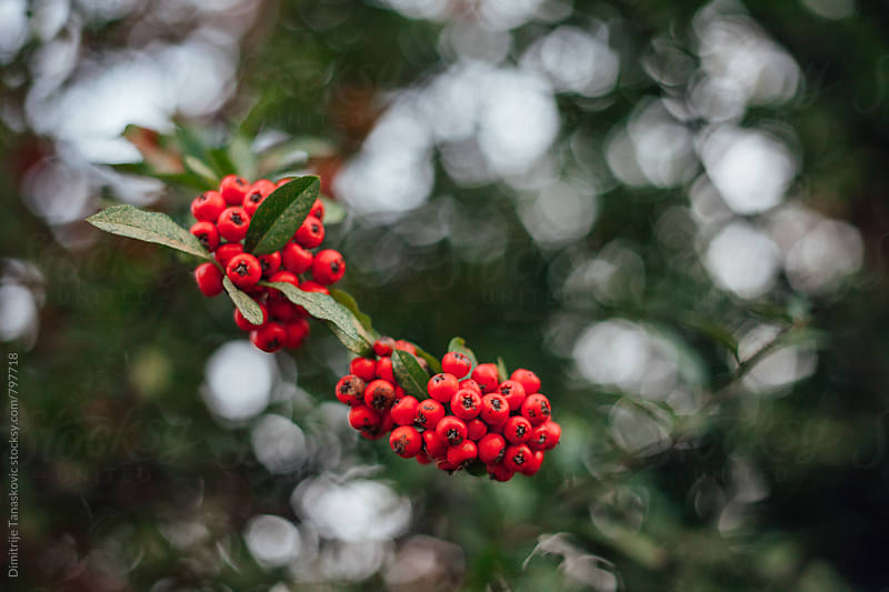 Image of red berries in the park by Dimitrije Tanaskovic for Stocksy United