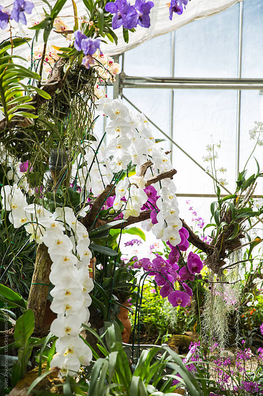 Colourful orchids growing inside of a greenhouse by Jovo Jovanovic for Stocksy United