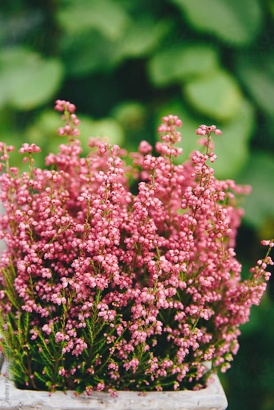 Pink herb in a pot by Andrey Pavlov for Stocksy United