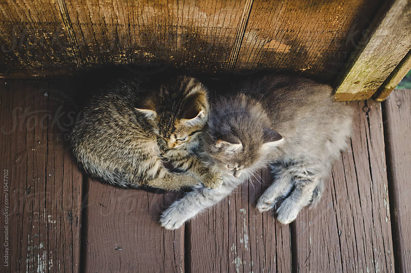 Cute kittens lying together by Lindsay Crandall for Stocksy United
