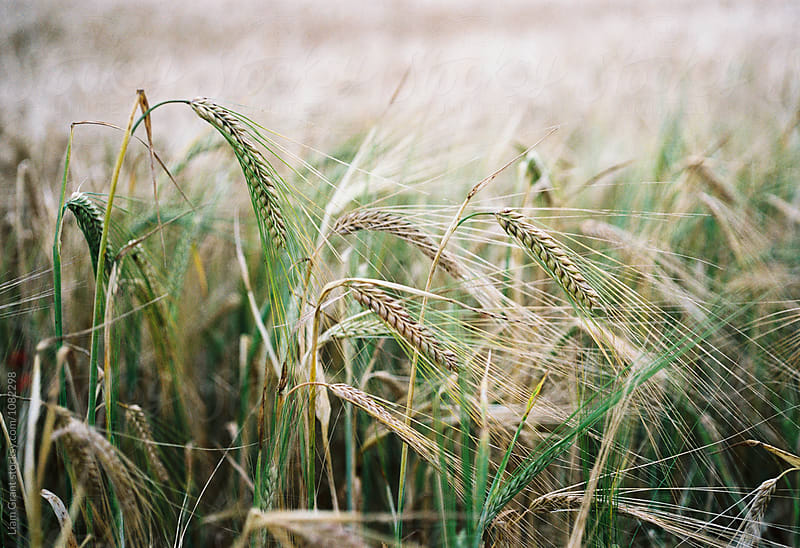 Detail of Barley. Norfolk, UK. by Liam Grant for Stocksy United