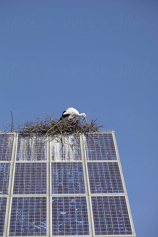 Stork building a nest on a big solar panel by Marcel for Stocksy United