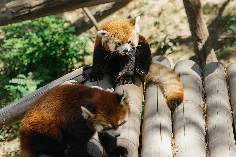 Two Red Panda, Firefox or Lesser Panda (Ailurus fulgens) by Maa Hoo for Stocksy United