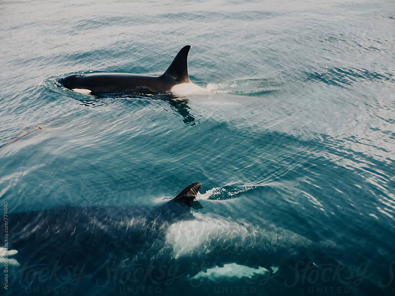 Orcas swimming in the Ocean by Ariana Babcock for Stocksy United