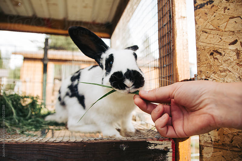 Feeding a sprig of grass to a rabbit by Justin Mullet for Stocksy United