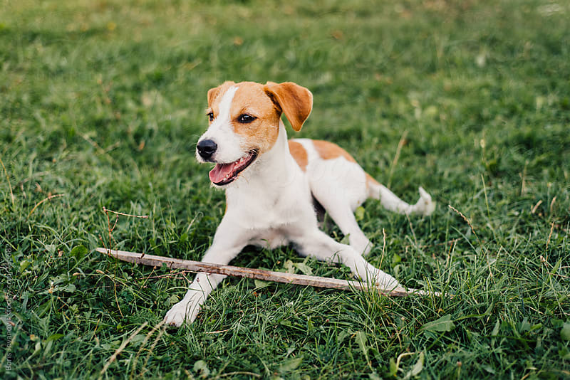 Dog playing with wood stick on the grass by Boris Jovanovic for Stocksy United