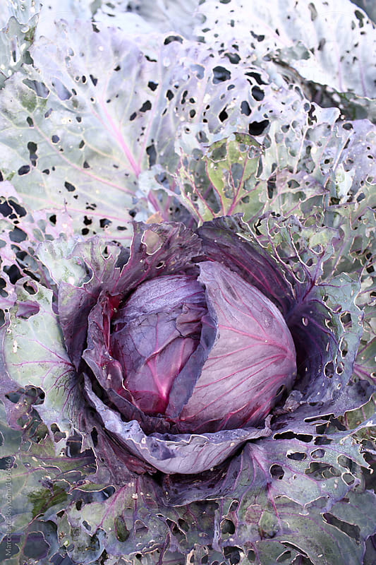 Red cabbage abstract by Marcel for Stocksy United
