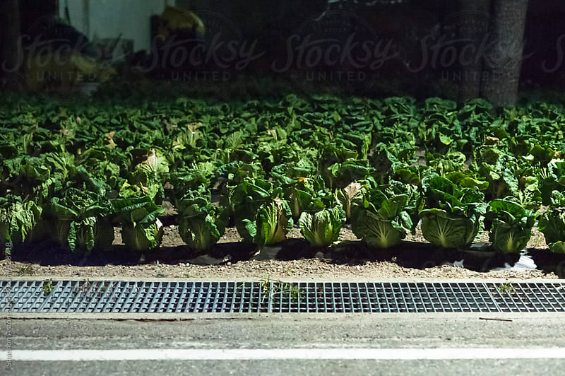 Korean kimchi cabbage growing on the roadside at night, Korea by Shannon Aston for Stocksy United
