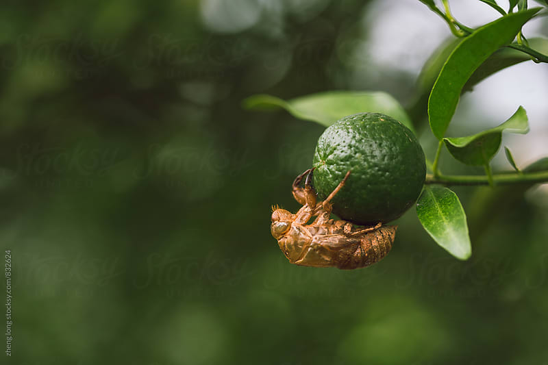 Cicada slough on navel orange by zheng long for Stocksy United