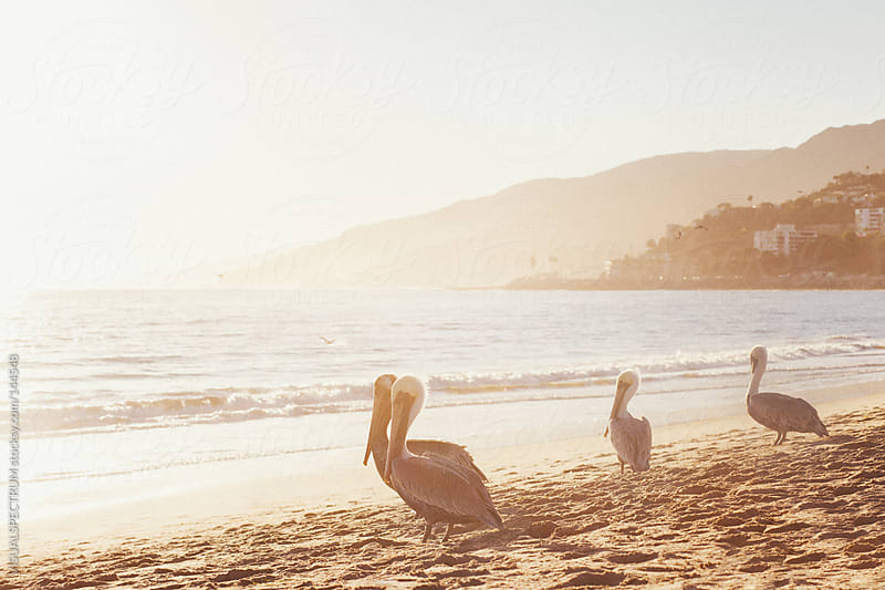 Pelicans On Malibu Beach by VISUALSPECTRUM for Stocksy United