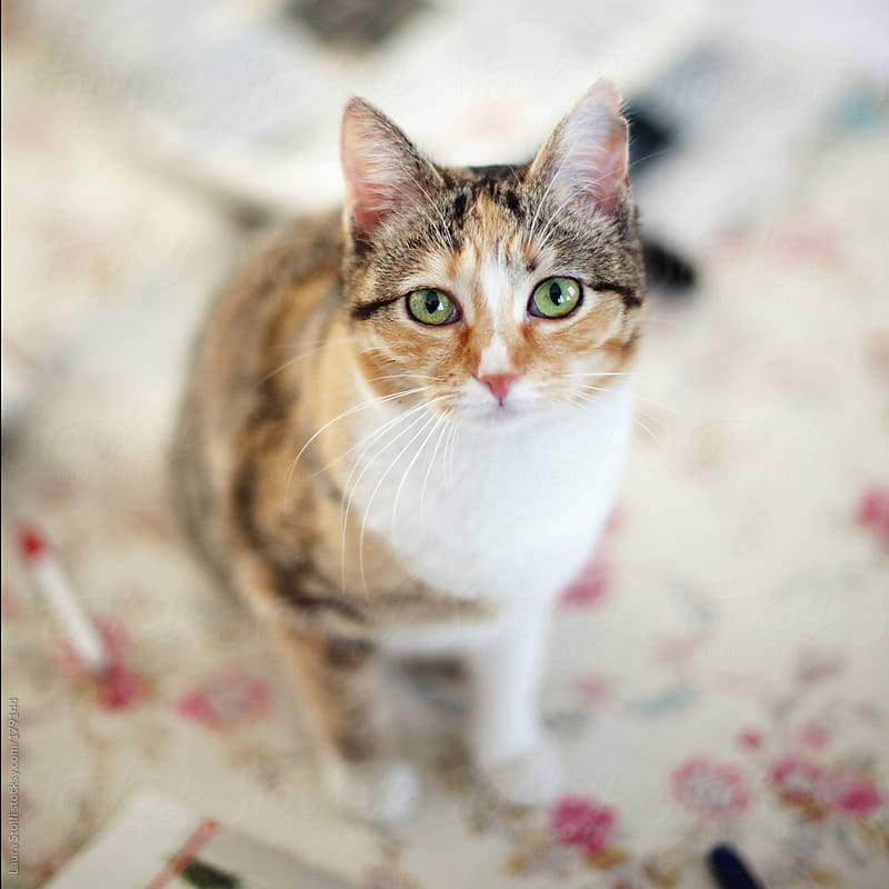 Green eyed cat looking straight at the camera by Laura Stolfi for Stocksy United