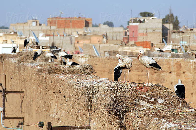 Storks in the walls of the medina of Marrakech by Bisual Studio for Stocksy United