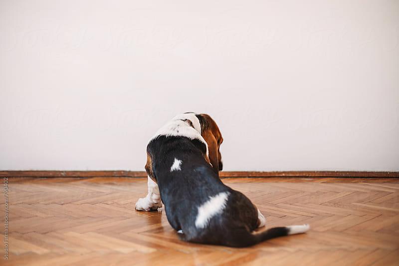 Basset Dog by Studio Firma for Stocksy United