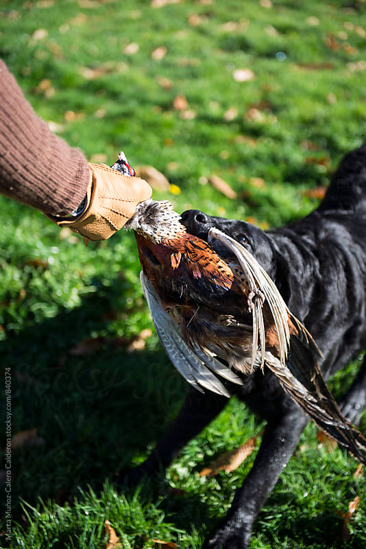 Black Labrador collecting ducks and pheasants on a hunt in the French Riviera by Marta Muñoz-Calero Calderon for Stocksy United