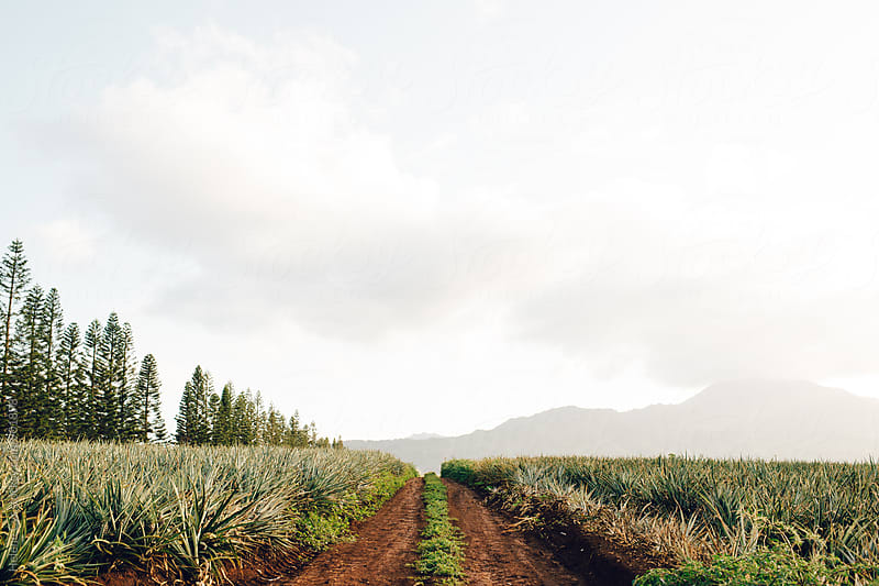 Pineapple Plantation by Helene Cyr for Stocksy United