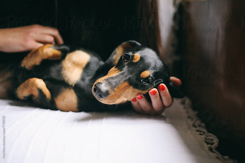 Adorable black dog looking at camera lying on a female's hand  by VeaVea for Stocksy United